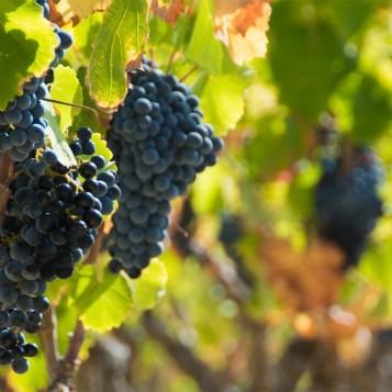 vins-vignoble-provence-var-bandol
